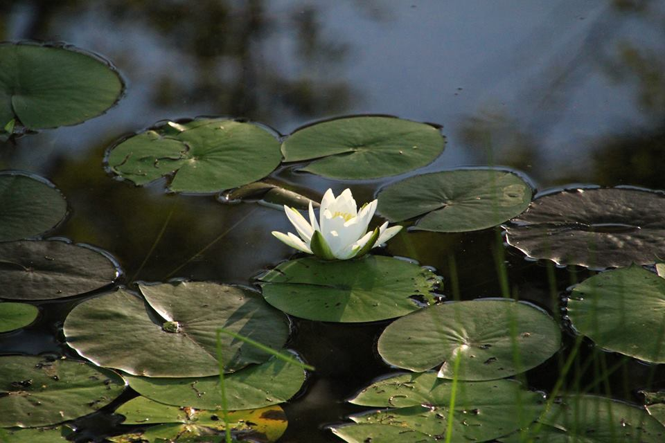 women's outdoor weekend, water lilly ecosystem on hiking trails at Gordon's Park on Manitoulin Island