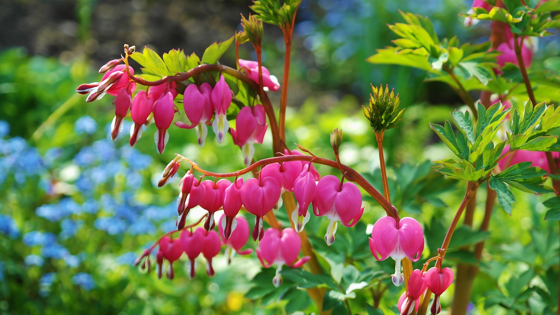 bleeding hearts at the Women's Outdoor Weekend at Gordon's Park on Manitoulin Island