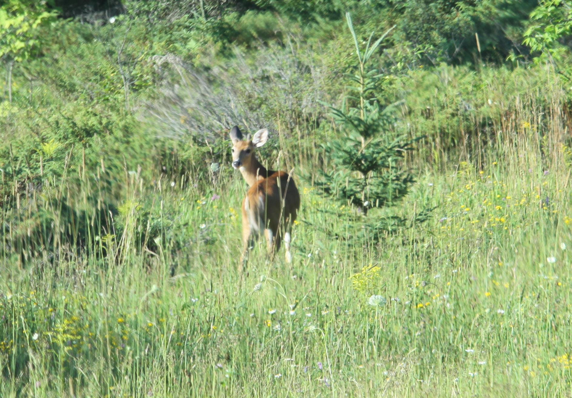 Deer along Hiking Trails at Gordon's Park on Manitoulin Island