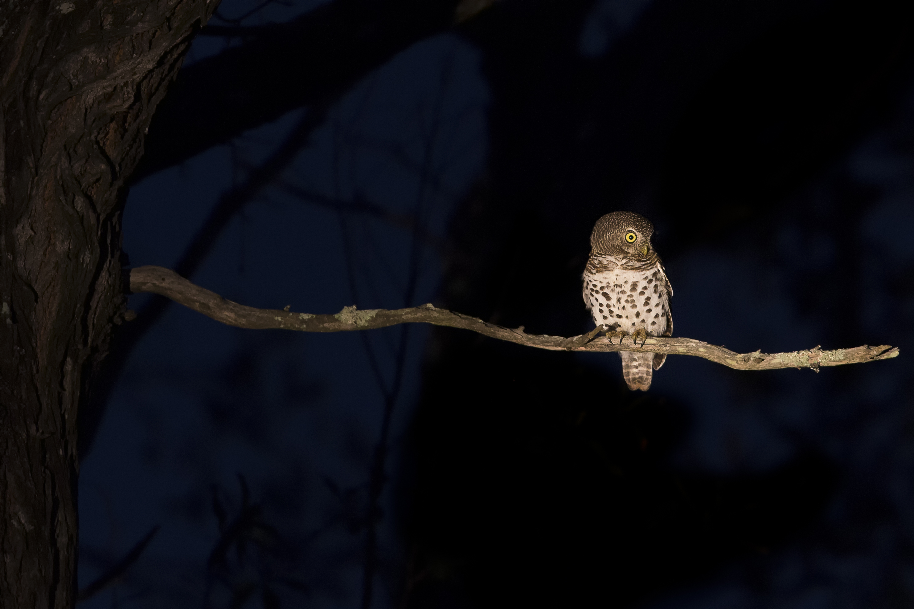 Barred owl on Gordon's Park stargazing night hike